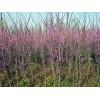 基地大量供應紫荊 多種規格