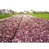 基地價格供應紫葉草