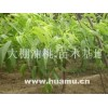 山东桃树0.5--10公分220万棵