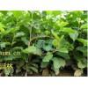 发布南京柳树价格信息