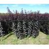 周至賣樹苗、大葉女貞、紅葉李周至啞柏苗圃
