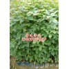 福建枫香苗|福建枫香种苗|福建枫香小苗|高度50公分到1米