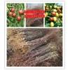 金丝四号枣苗 哪里有卖枣苗的 产量高