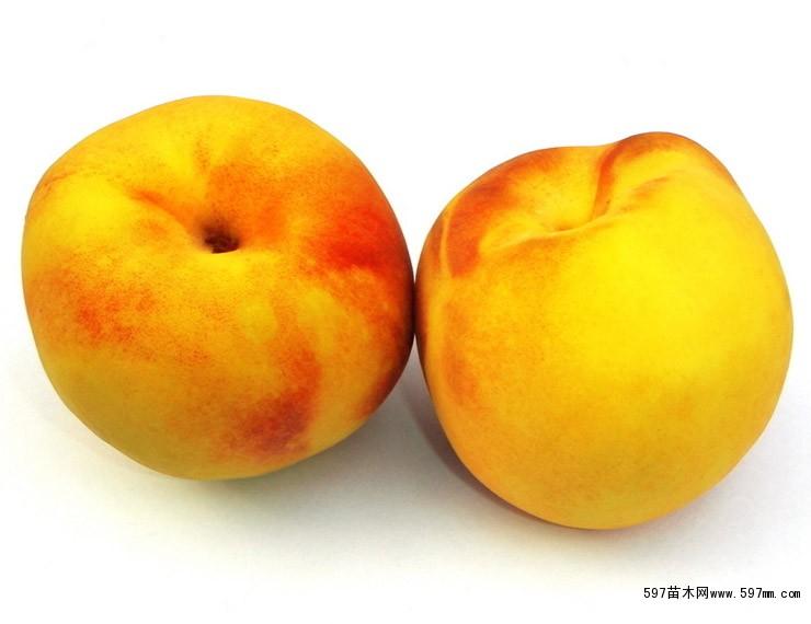 黄金王黄桃树苗新品种