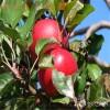 供应山东新品种苹果树苗多少钱一棵  山东苹果树苗价格