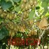 供应猕猴桃树苗 山东2年生猕猴桃苗价格 泰安猕猴桃产地