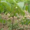 新品种纸皮核桃树苗 纸皮核桃树苗价格多少纸皮核桃树苗