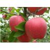 苹果苗在售