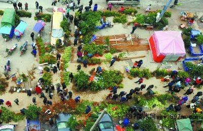 2月17日,嘉禾县石桥镇农贸市场,苗木交易区里人来人往,一派繁忙。黄春涛