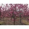 修改2/3/4公分红玉兰价格、红玉兰树产地价格