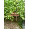 【规格:地径2公分、米径3公分、4公分】樱花树苗木基地
