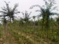水杉树苗1