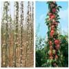 主營柱狀蘋果苗;柱狀蘋果樹苗、柱狀蘋果苗基地價