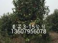 茶花3- 15公分