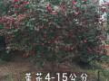 茶花4-15公分