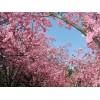 樱花价格5公分樱花--15公分樱花价格 樱花基地