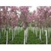 哪里有2公分3公分4公分樱花 山东樱花树苗价格