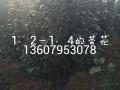 供应1.2-1.4公分茶花