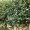 低价抛售榉树、红榉、朴树、大叶女贞、银杏、紫叶小波、紫叶李