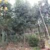 供应榉树、朴树、国槐、高杆女贞、大叶女贞