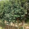 低价抛售二乔玉兰、碧桃、丛生榆叶梅、丛生紫荆、大叶扶芳藤