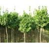 低价抛售楸树,3-20公分楸树,楸树基地