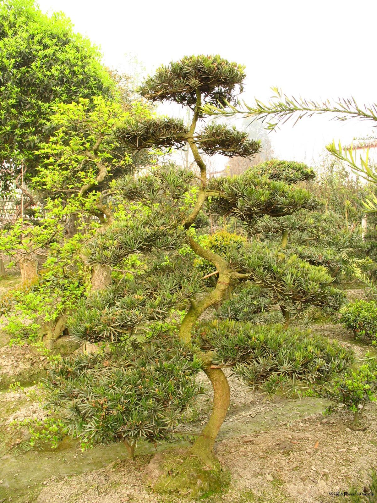 597苗木网 供应信息 花卉盆景