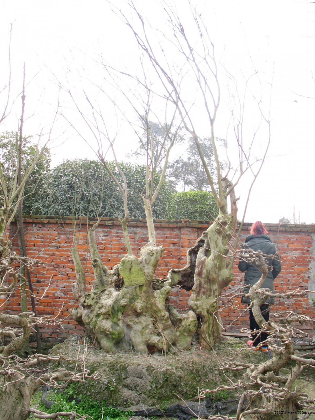 供应红花紫薇盆景造型树桩编排 亭子排方花瓶柱子