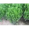 供应小叶黄杨40-60cm 10万棵