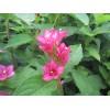 红王子锦带、锦带花,美国红王子锦带,江苏沭阳红王子锦带