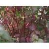 红端木,红瑞木苗,别名红梗木、凉子木,红端木,红瑞木价格