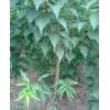 供应山杏 3-5公分 5000棵
