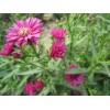 供应荷兰菊、荷兰菊苗、荷兰菊小苗、荷兰菊工程苗
