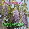 紫藤 山东紫藤树苗 1-5公分紫藤树价格 产地