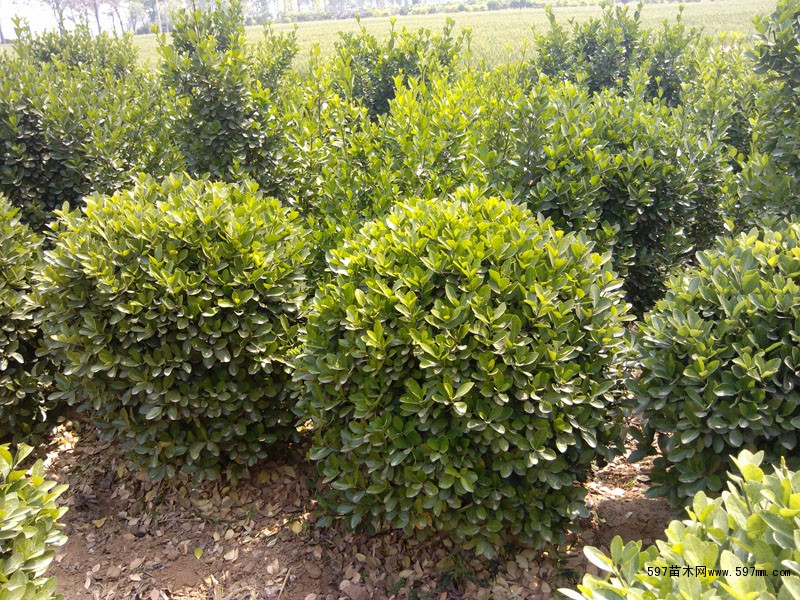 大叶黄杨种植