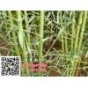 竹子批发|竹子报价 规格齐全 量大优惠