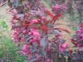 北美海棠樹