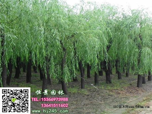 柳树的种植价值大,柳树木材质轻洁白