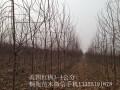 桐苑美国红枫3-4