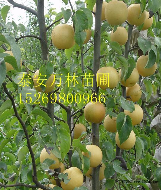 黄金梨树苗哪里便宜梨树苗培育基地梨树苗价格