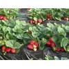 四季草莓苗供应价格