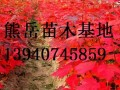 2016辽宁美国红枫小苗