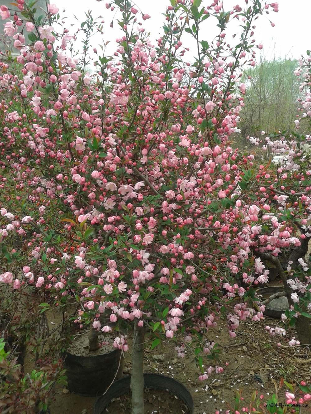 凯达苗木垂丝海棠盆景供应|造型景观|绿化苗木|供应