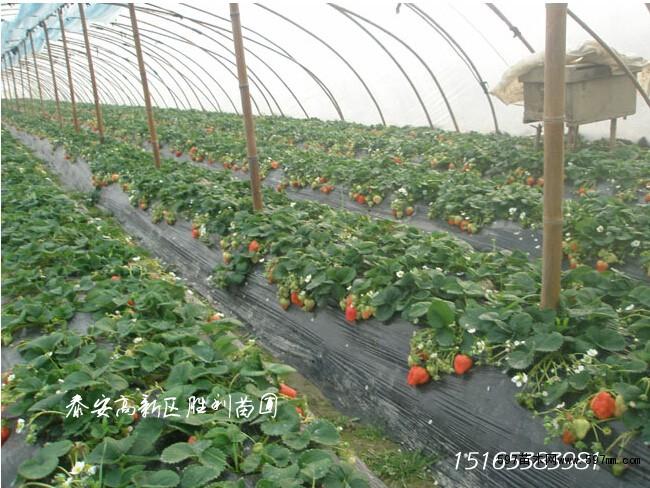 大棚草莓苗,全明星章姬红颜四季奶油草莓苗出售 果树