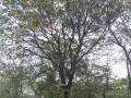 精品朴树展示