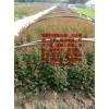 红叶小檗床苗    红叶小檗扦插苗   红叶小檗小苗