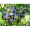 奥尼尔蓝莓苗哪里有 奥尼尔蓝莓苗价格