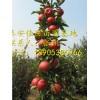 基地大量供应柱状苹果苗多少钱一棵