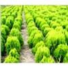 本公司有着经营苗木品种达1000余个,不信你就来实地考察。
