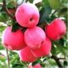 烟富8号苹果树苗 苹果树苗价格
